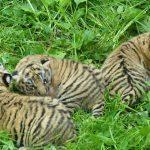 Loomaaed tutvustab tiigripäeval tulevast tiigriorgu