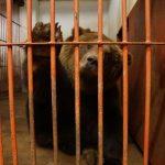 FOTO JA VIDEOD: Tallinna loomaaias ajutiselt kostil olnud karu Proša jõudis täna tagasi kodumaale