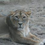 Tallinna loomaaia lõvi Xylitol suri
