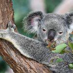 Austraalia loomade abistamiseks annetati Tallinna loomaaiale ligi 80 000 eurot