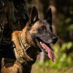 K-komando esimene teenistuskoer Chert läks pensionile