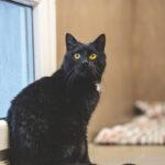 Varjupaikades algab taas musta kassi kuu